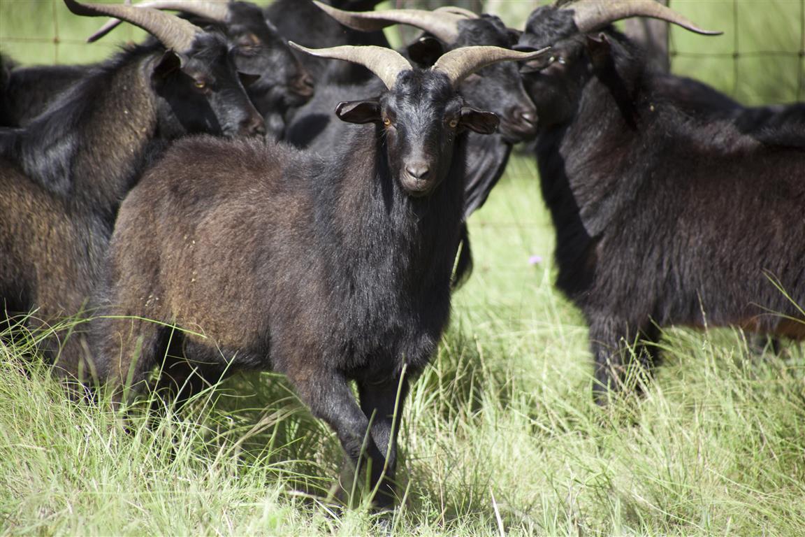 goat_02_spanish